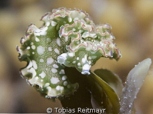 Lettuce Sea Slug at night Three Peaks, Exumas by Tobias Reitmayr